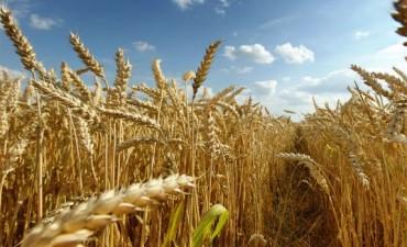 SIN AYUDA DE LOS GOBIERNOS EL CAMPO NO RINDE - Los productores de trigo que arrendaron