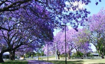 """MEDIO AMBIENTE  En Coronda ya se cultiva Kiri, """"el árbol que va a salvar el mundo"""""""