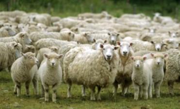 Con 100 mil cabezas más de ganado ovino, Entre Ríos llegó a las 570 mil