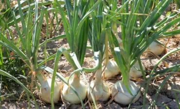 Este miércoles se dará una charla sobre cultivo de cebollas para pequeños productores de la zona