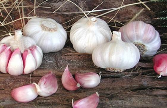 El INTA creó una nueva variedad de ajo colorado de cosecha temprana