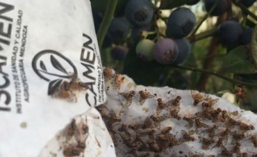 Desde Mendoza traen un nuevo control de plagas para el arándano